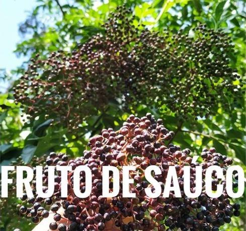 fruto de sauco organico