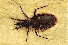 fumigación contra chipos alacranes hormigas voladores