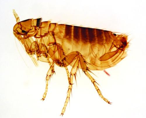 fumigacion cucarachas pulgas murciélagos chinches de cama