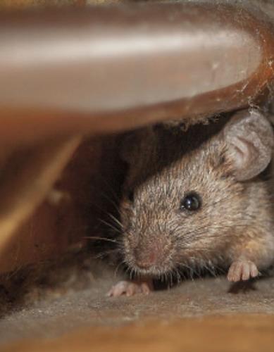 fumigacion y sanitizacion :chinches, cucarachas, roedores