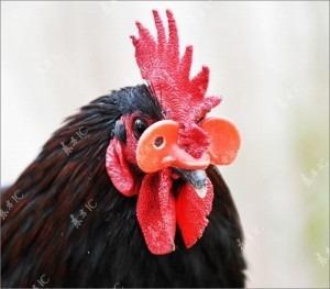 gafas para gallinas evita el canibalismo pollos gallinas x1