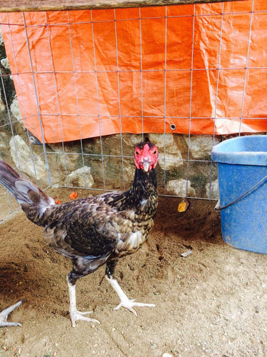 gallina asil que da puros gallos gallinos
