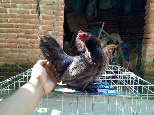 gallina ceniza oscura (blue)  kikirikis, pata corta