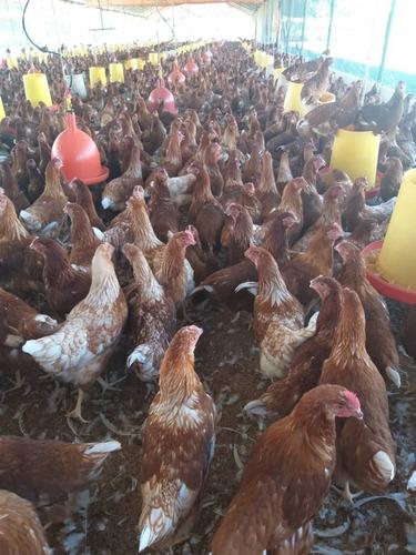gallinas pollas ponedoras