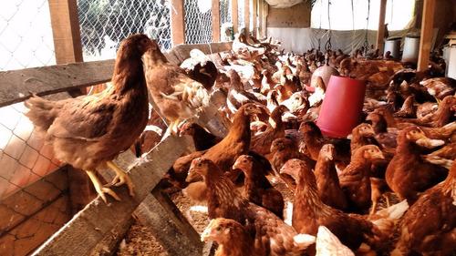 gallinas, pollitas ponedoras de alta postura