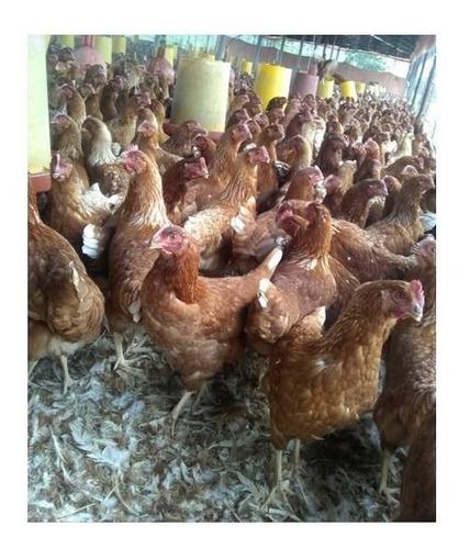 gallinas ponedoras, somos un centro veterinario,100%garantia