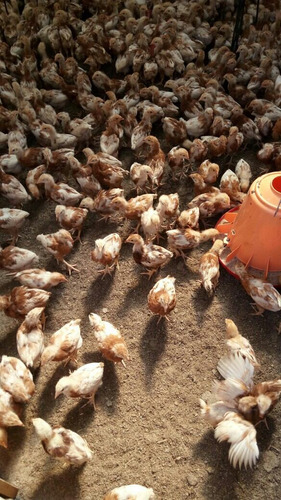 gallinas y pollas hy line brown. pollas de 8 semanas.