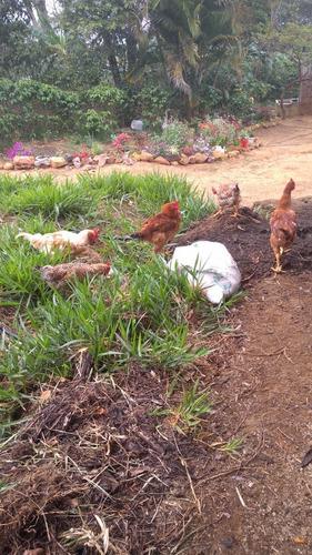 gallinas y pollos criollos
