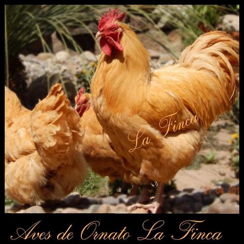 gallinas y pollos orpington