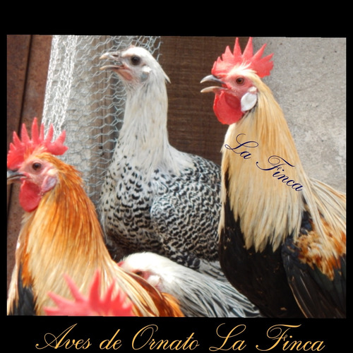gallinas y pollos phoenix de mes y medio