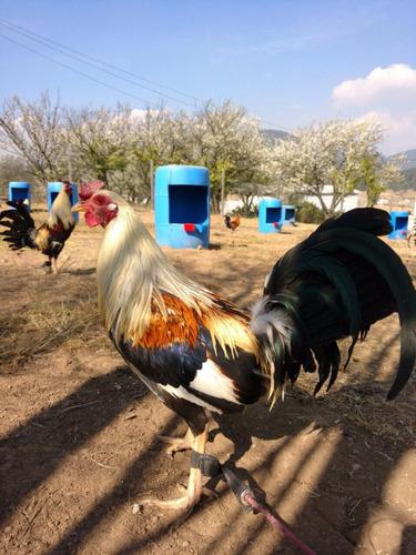 gallo de pelea, ave de combate (giro)