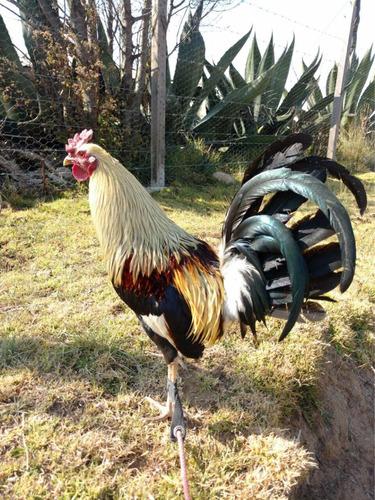 gallo de pelea, ave de combate (giros)