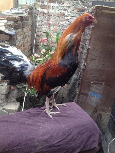 gallo fino