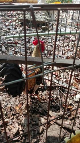 gallos de combate