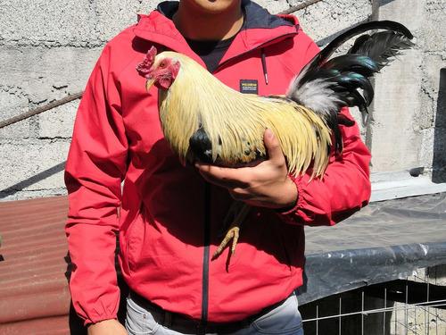 gallos de combate.