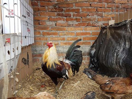 gallos de combate golden