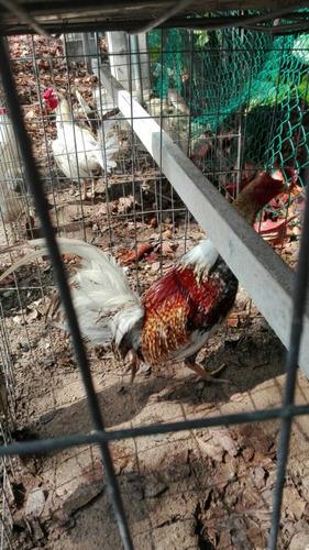 gallos de combate pico y espuela limpios lineas cubanas
