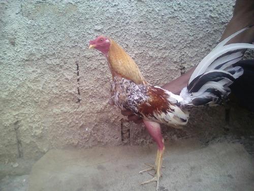 gallos de pelea ah la venta probados buena linea