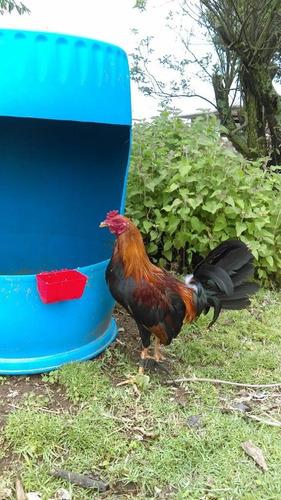 gallos de pelea, aves de combate (kelso/sweter)