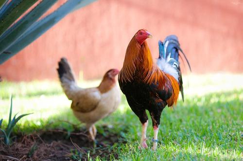 gallos para combate y pie de cria gallina sweater