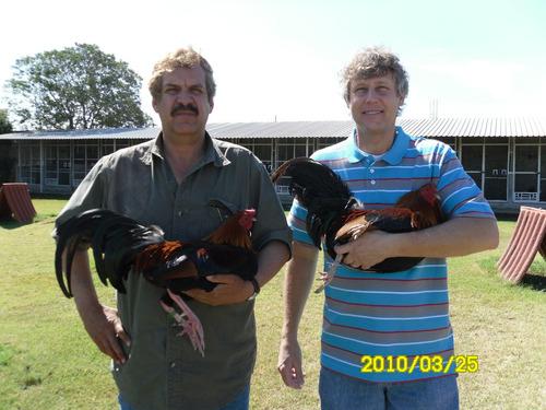 gallos para combate y pie de cria trio de sementales kelso