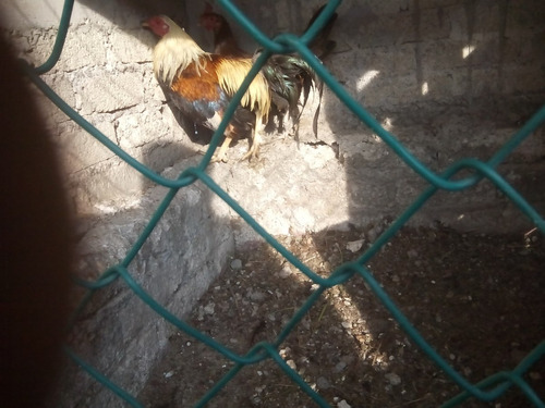gallos y gallinas de combate