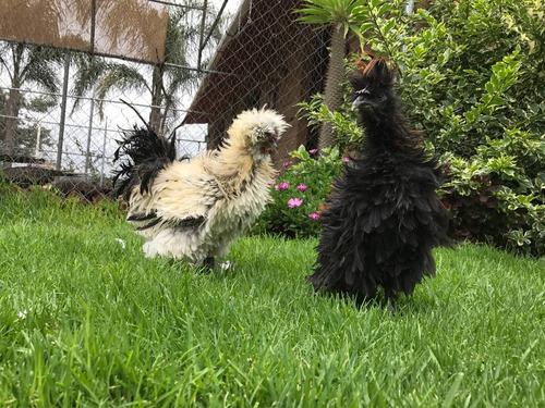gallos y gallinas frizzle