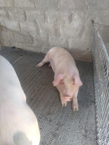 ganado porcino de destete y distintas camadas de 15-80kg