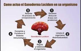 ganoderma lucidum. 90 cápsulas 500 mg