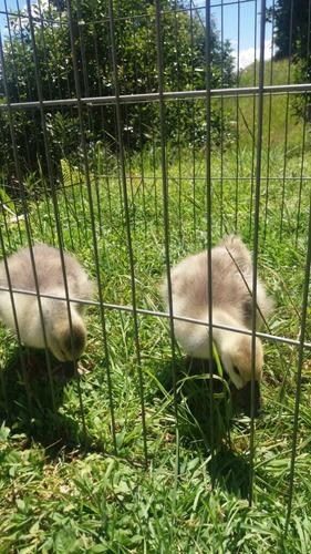 gansos oca africanos   pera : excelentes aves guardianes