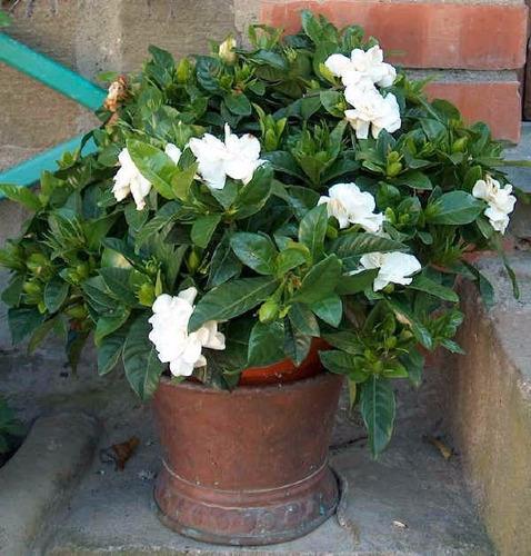 Gardenia jasmim do cabo sementes flor perfumada p - Gardenia pianta da interno o esterno ...