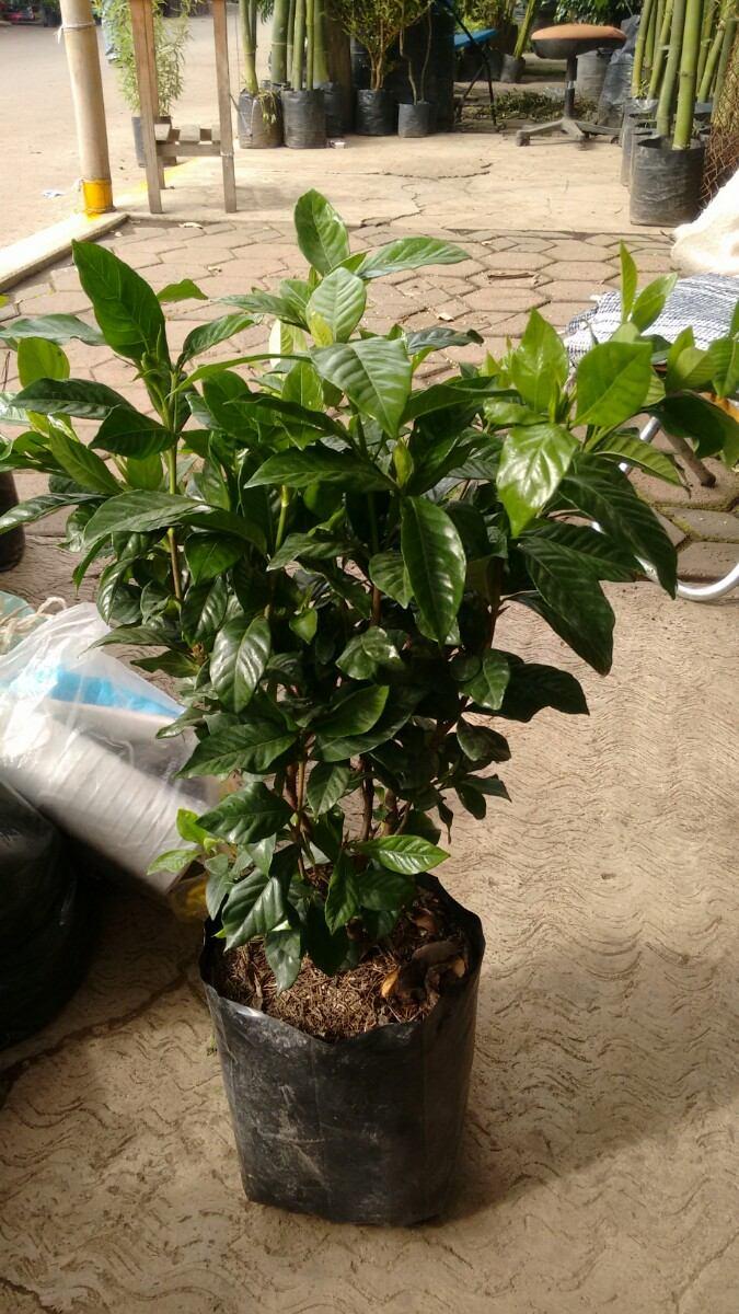 Gardenia planta jazmin del cabo semisombra for Jazmin planta precio
