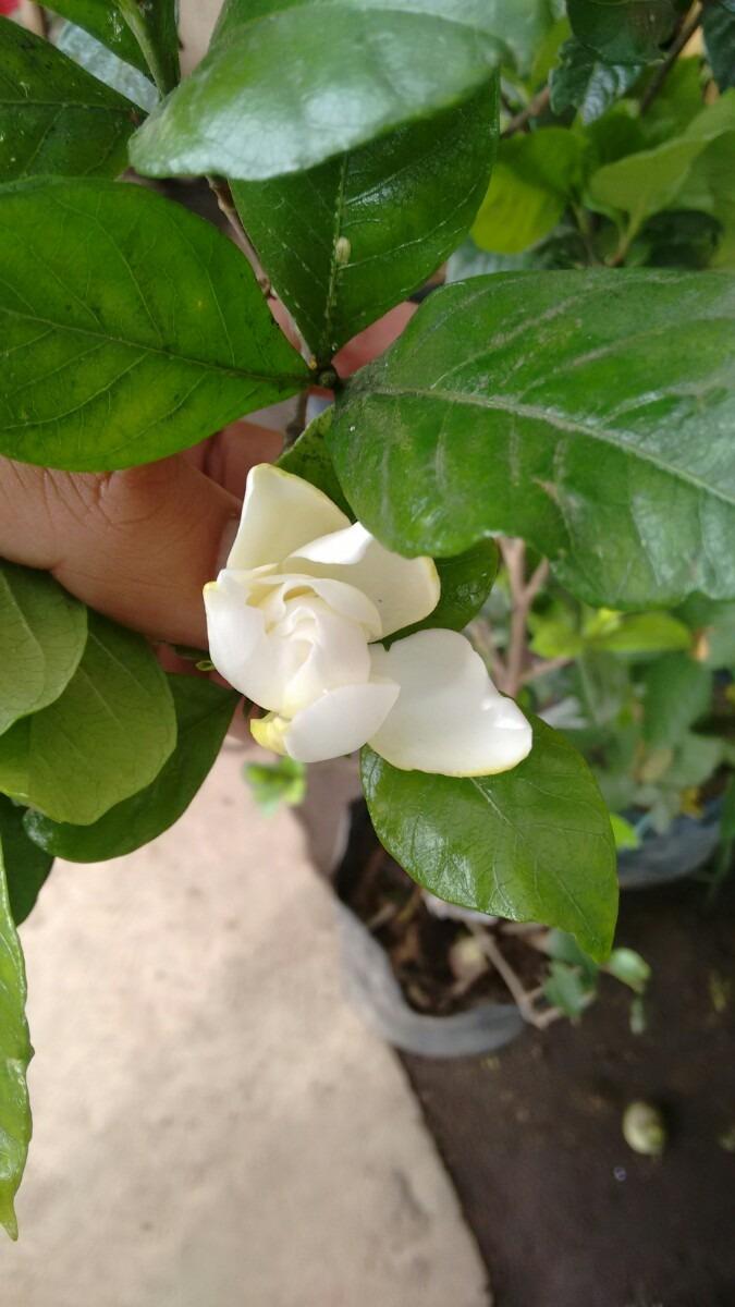 Gardenia planta jazmin del cabo semisombra grande for Jazmin planta precio