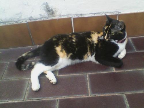 gata bella en adopción (tricolor)