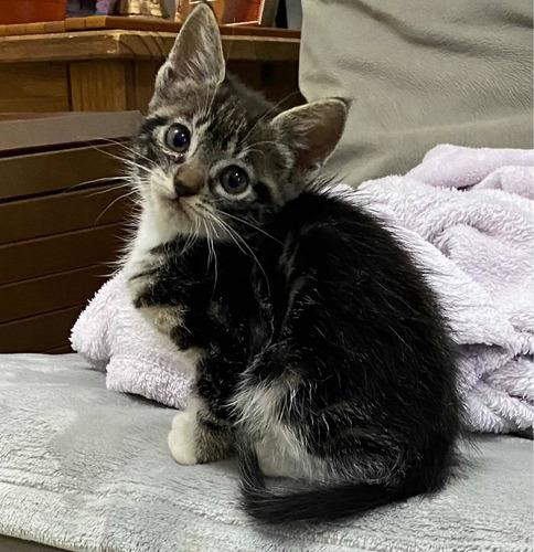 gatinha com 2 meses para doação