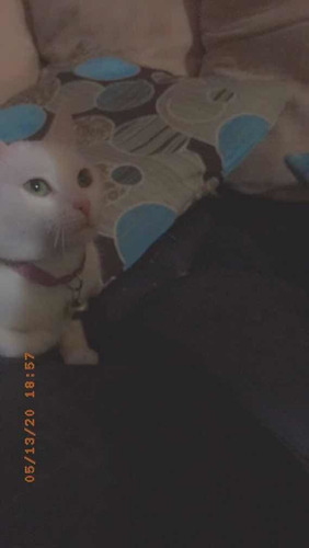 gatita blanquita raza bobtail japonés ¿¿busca novio ¿