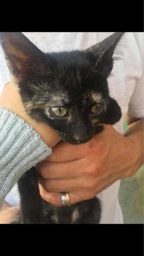 gatitas carey muy amorosas, dos meses y medio adopción