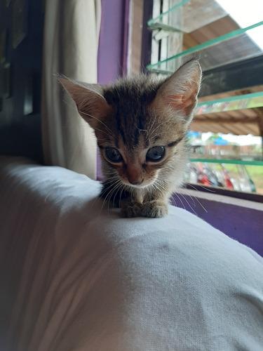 gatitas en adopcion se encuentran en santarosa de pocosol