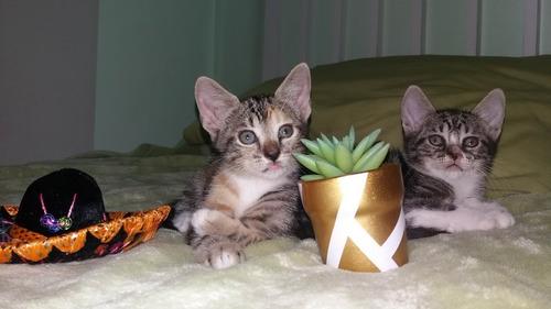 gatitas y gatitos atigrados bbs en adopcion responsable