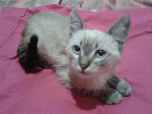 gatito bebé mestizo de siamés en adopción