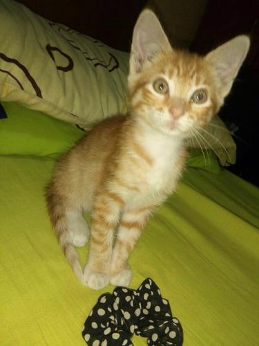 gatito gringo macho, 2 meses adopción responsable