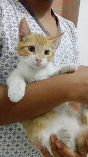 gatito macho 4 meses gringo súper amoroso sano  en adopción