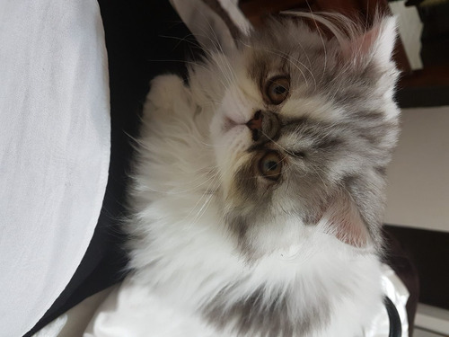 gatito persa macho