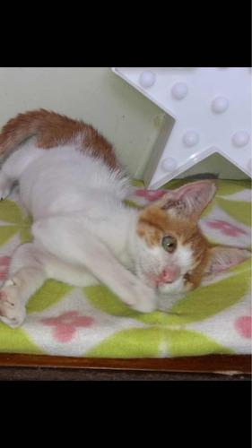 gatito pirata cariñoso y juguetón adopción