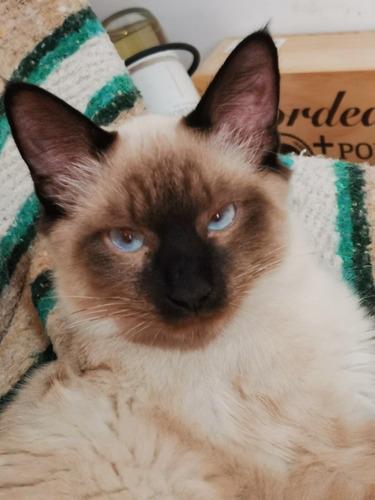 gatito siamés 8 meses