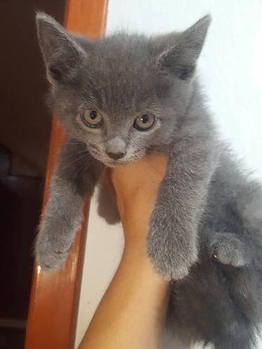gatitos azul ruso