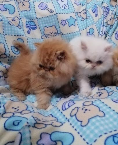 gatitos bebes persa