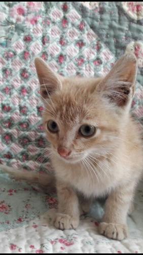 gatitos gringos hembra y macho 2 meses y medio adopción