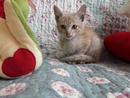 gatitos machos gringo  2 meses y medio adopcion  responsab