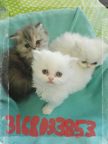 gatitos persa